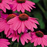 Saavyseeds Powwow Wild Berry Coneflower Seeds - 55 Count