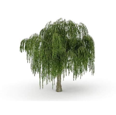 Bare Root Bonsai Dwarf Weeping Willow Tree Cutting Large Thick Trunk Get 1#BK01YN ()