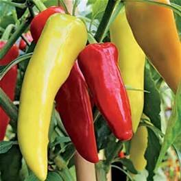 Sweet Banana Pepper Seeds- 30 Seeds