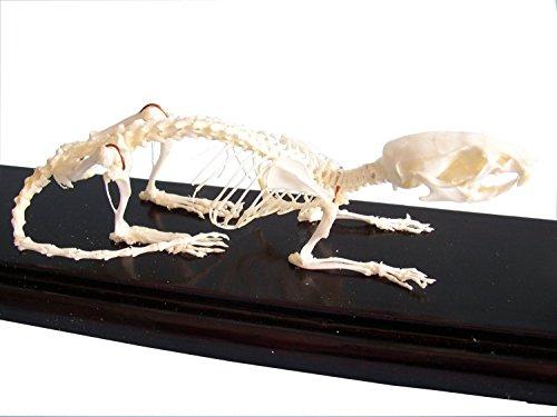 C & A Scientific - Premiere 51012 Real Rat Skeleton]()