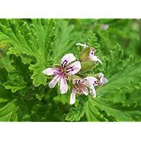 Rosa geranio Pelargonium graveolens Semillas, Semillas 120pcs Familia Geraniaceae Qu Weng Cao de flores, semillas…