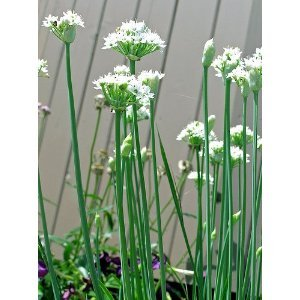 Garlic Herb Chives 100 Seeds - GARDEN FRESH PACK!