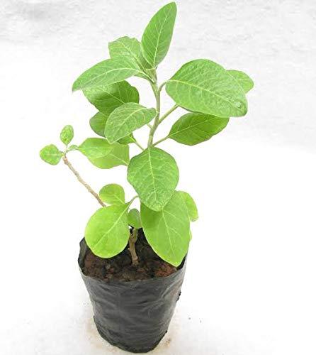 A2C Plant Ashwagandha Plant with Pot (B07WHTD8NK) Amazon Price History, Amazon Price Tracker