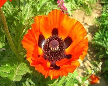 (Germination Seeds PLATFIRM-Oriental Prine Orange Poppy Papaver Orientale 150 Seeds)