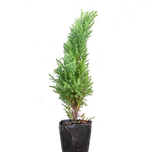 コノテガシワ ローズダリス 樹高20cm前後 25本セット B01N5ER9SF