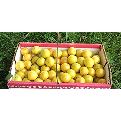 Cherry Plum Fruit Tree Dwarf Edible Fruiting Plant Live Plant Yellow or red - Live Plant Furit Tree Garden Spring Summer : Garden & Outdoor
