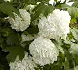 Eastern Snowball Bush ( Viburnum ) - Live Plant - Quart Pot