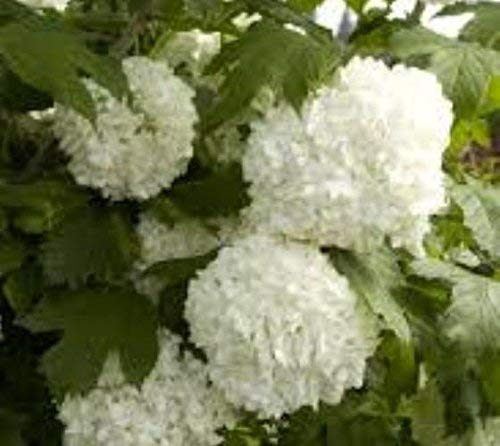 Eastern Snowball Bush ( Viburnum ) - Live Plant - Quart Pot