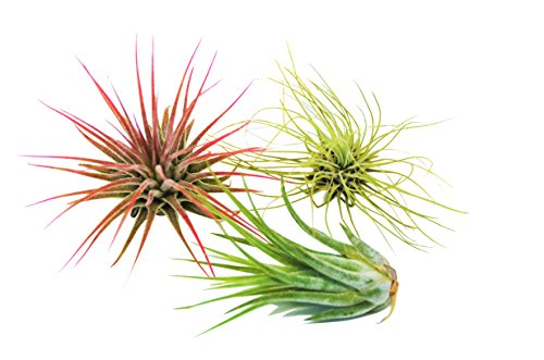 Air Plant Tillandsia 3-Pack - Small Air Plant Variety Pack - Easy Care - Great in Terrariums - Air Filtering (Tillandsia Fuchsii, Ionantha, & Kolby)