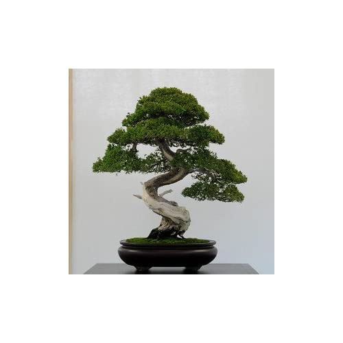 50 juniper bonsai tree potted flowers office bonsai purify the air absorb harmful gases juniper seeds