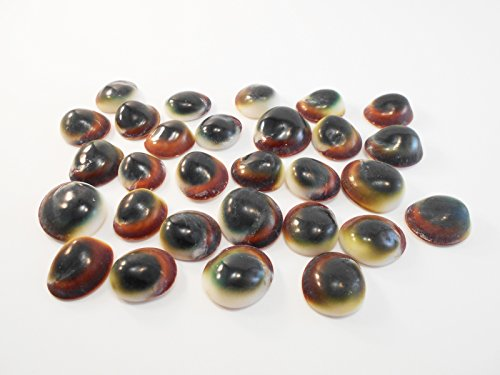 - Set of 24 Green Cat Eye Shells (Shiva Shells) Operculum - small: 1/2