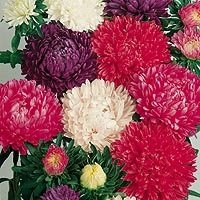 (25 Seeds of Milady Mix 3004 (Aster))