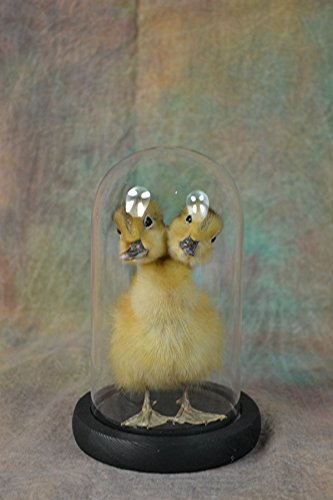 Hand Made Taxidermy of Two Headed Duckling Mounted in Glass Dome Man Made