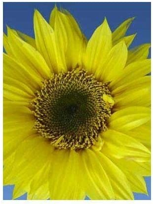 HONIC 50 - Samen: Lemon Queen Sunflower -A Majestic & Beautiful Unique Sunflower