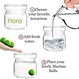 Floro Large Marimo Moss Balls - Aquatic Plants for