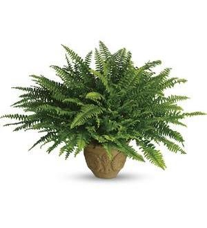 Harit - The Plants Shop Special Boston Fern Plant (Green)