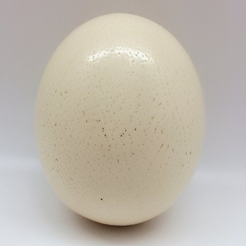 PEPPERLONELY Empty Ostrich Eggshell 5 Inch ~ 6 Inch (Ostrich Eggs)