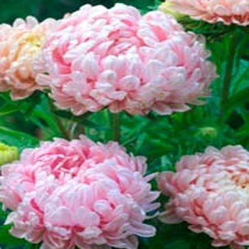 (Outsidepride Apricot Paeony Aster Flower Seed - 1000 Seeds)