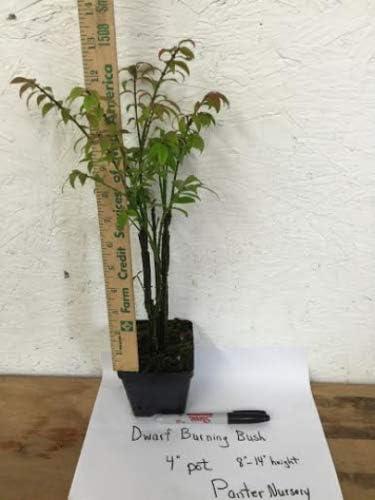 Garden Tree 6-12 Tall 4 Pot Hardy Shrub 3 Year Old Dwarf Burning Bush Tree Euonymus Alatus