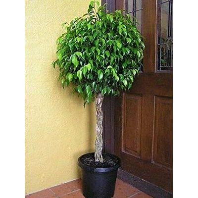 Benjamina Ficus Tree - Outdoor Garden Yard - Botanical Live Plant Grows 6-10 ft Pot : Garden & Outdoor
