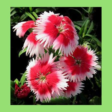 - Cyclamen Pink Narcissus 100PCS Mixed White and Pink Petals Dianthus japonicus Potted Garden Courtyard Balcony