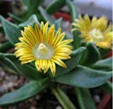 Rare NANANTHUS ALOIDES Living Stone Cacti mesembs Rock Plant ice Seed 15 Seeds AJND-0162
