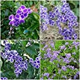 "2 DURANTA ERECTA Sapphire Showers Well Rooted Live Starter Plant 4"" to 7"" Tall"