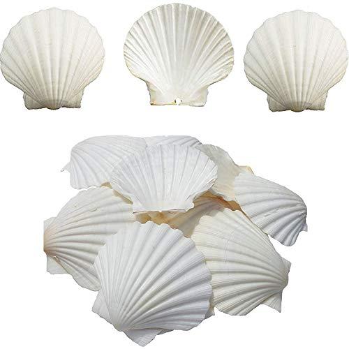 Scallop Shell Natural Seashell from Sea Beach for DIY Craft Decor 1 Box (25 pcs)