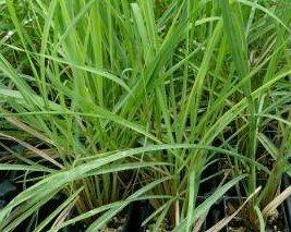 6 - Citronella Grass Live Plants