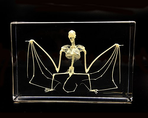Real Bat Skeleton Specimen in Acrylic Block Paperweights Science Classroom Specimens for Science Education