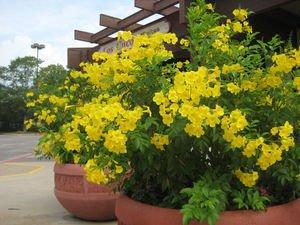Ornamental flowering tree ghanti ful yellow bells flower seeds ornamental flowering tree ghanti ful yellow bells flower seeds rainy season flowering plant seeds garden mightylinksfo