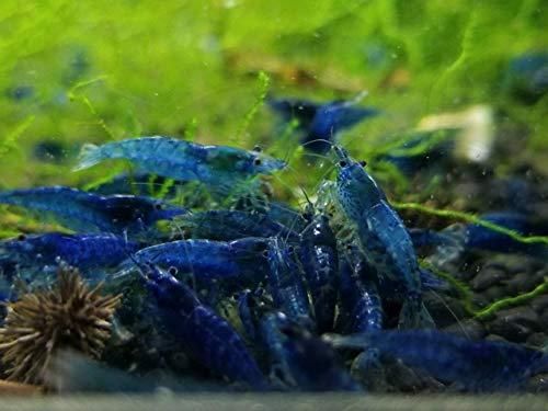 10 Blue Dream Shrimp Neocaridina davidi Live Freshwater Aquarium Shrimp ()
