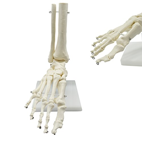 MAYMII PVC Human Foot Skeleton Medical Anatomical Model on Base Stand, Life Size, Articulated