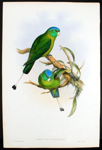 Blue-Headed Racket-Tailed Parrot
