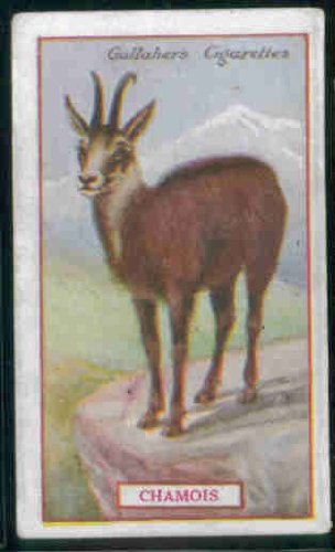 Chamois 1921 Gallaher Cigarettes Animals & Birds of Commercial Value #65 (GOOD+) light crease