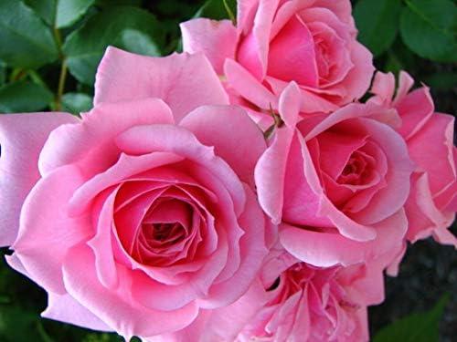 Las semillas orgánicas: Gen Boerner Rose Live (rosa) por Farmerly ...