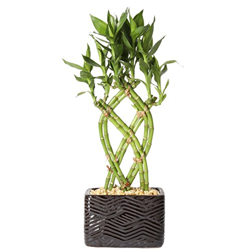 Costa Farms Medium Lucky Bamboo Live Indoor Tabletop Plant in Modern Home Decor 5-inch Brown-Black Ceramic Planter