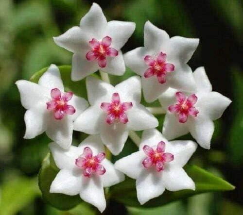 20 pcs Blanco Rosa Hoya Semillas bola Orchard jardín de flores de plantas de semilla Orchard: Amazon.es: Jardín