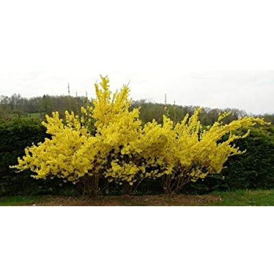 AchmadAnam - Live Plant - Lynwood Gold Forsythia - Shipped Over 2 Feet Tall : Garden & Outdoor