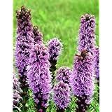 50+ Violet Liatris Spicata Flower Seeds/Perennial