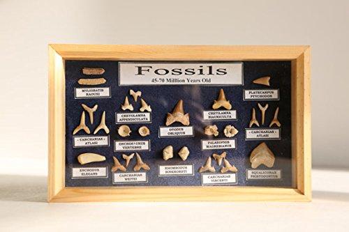 Fossil Shark Teeth Collection - Jurrasic Dinosaur Fossils - Real Fossil Collection Fossils UK