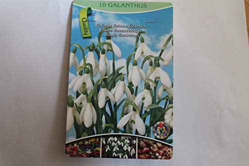 10 Flower Bulbs Simple Snowdrop, galanthus bz 34
