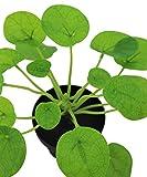 LuckyGreenery Artificial Plants Pilea, Realistic
