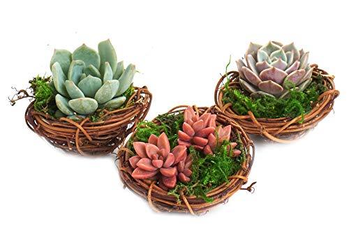 Shop Succulents Spring Mini Bird Nest Succulent Planter Trio - Spring Home Decor - Succulent Office or Classroom Decor- 3