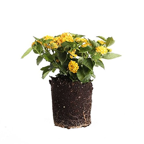 Plants by Post Lantana Quart Flowers, 1, Yellow by Plants by Post