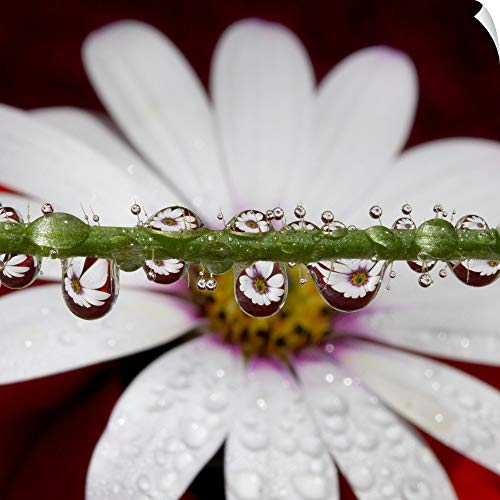 Canvas on Demand Wall Peel Wall Art Print Entitled African Daisy Flower refracted in numerous Tiny Water Drops on Poppy Flower stem. (Gerbera Daisies 20 Stems)