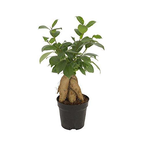 Dominik Blumen Und Pflanzen Lorbeer Feige Chinesische Feige Ficus