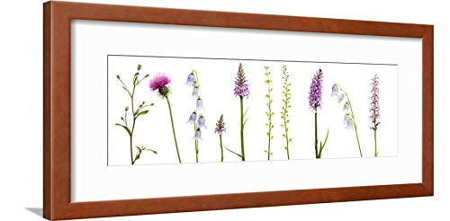 ArtEdge Meadow Flowers, Fleabane Thistle, Bearded Bellfower, Common Spotted Orchid, Twayblade, Austria Brown Wall Art Framed Print, 8x24, Soft White ()