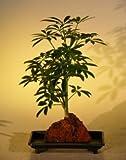 Bonsai Boy's Hawaiian Umbrella Bonsai Tree - Small - In Lava Rock arboricola schefflera 'luseanne'