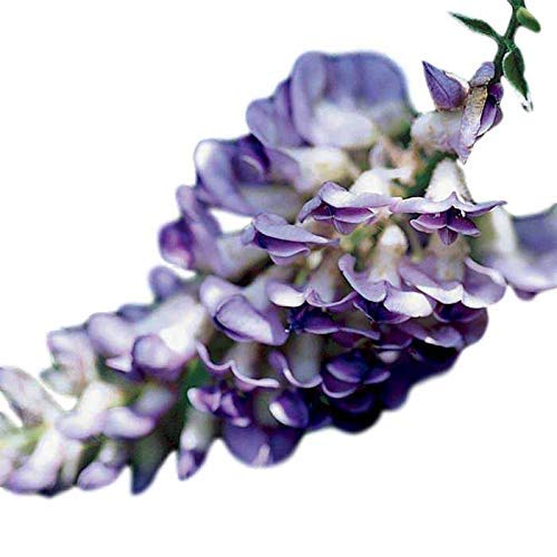 Blue Moon Wisteria Vine - Live Plant - Trade Gallon Pot by New Life Nursery & Garden